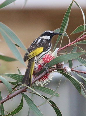 Environmental - Honeyeater