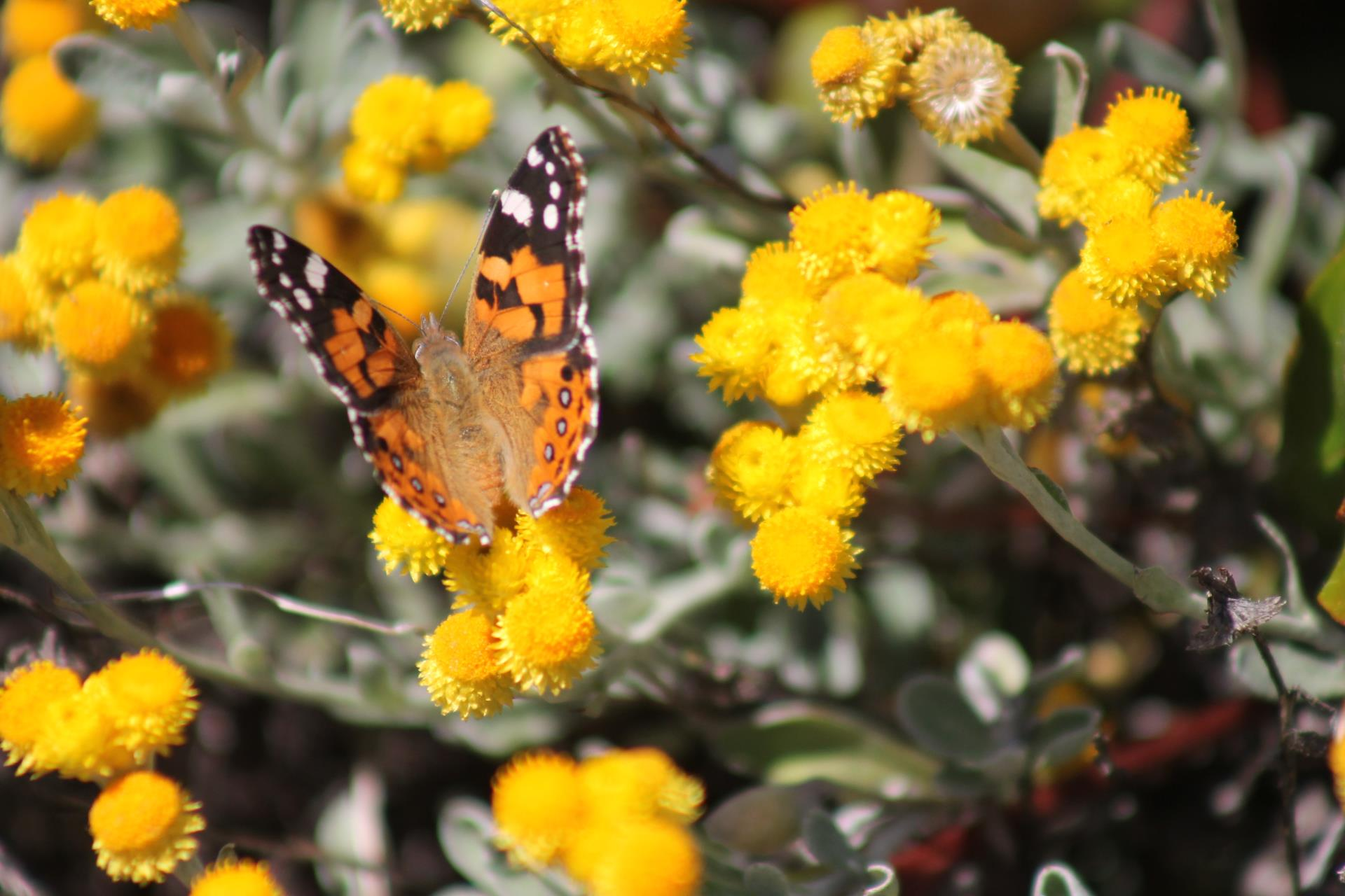 Butterflies of the Perth Hills and beyond