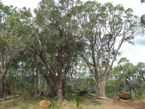 IMG: Feature Plant - Forest Sheoak